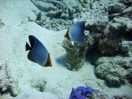Récifs/Coraux - House Reef Hôtel Lahami Bay